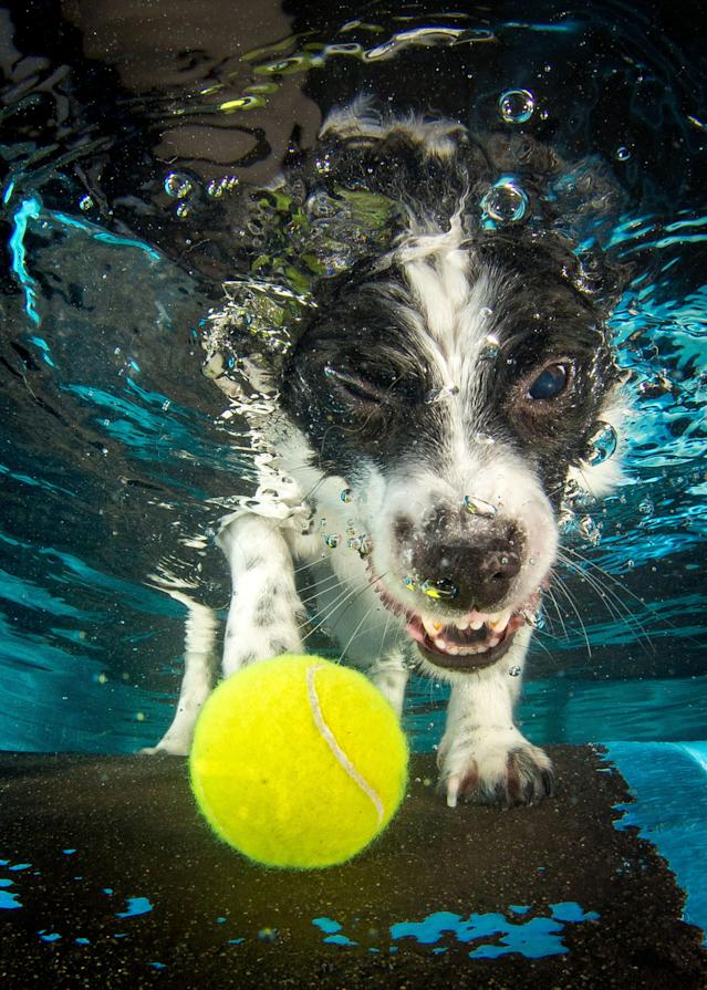 <p>A Jack Russell-Japanese spitz cross with a floating tennis ball. (Photo: Jonny Simpson-Lee/Caters News) </p>