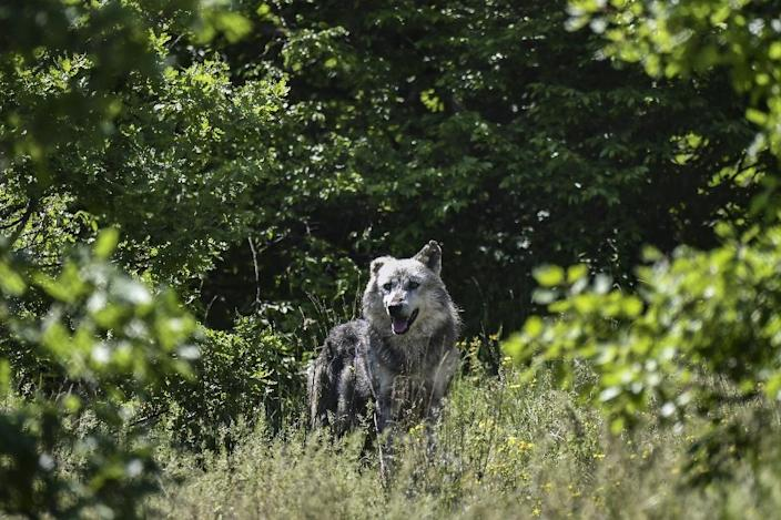 Seven wolves share 17 acres of oak forest, with their population set to double as seven more arrive from a zoo in Italy (AFP Photo/Aris MESSINIS)