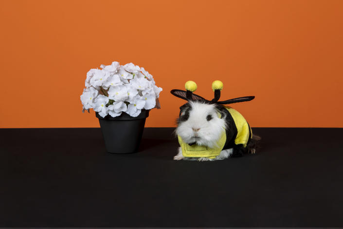 PetSmart's new Halloween collection features costumes for small pets like guinea pigs or bunnies.