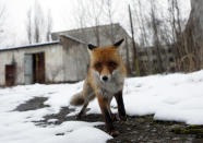 FILE - In this file photo taken on Thursday, Dec. 22, 2016, a fox roams in the deserted town of Pripyat, some 3 kilometers (1.86 miles) from the Chernobyl nuclear plant in Ukraine. To the surprise of many who expected the area might be a dead zone for centuries, wildlife is thriving: bears, bison, wolves, lynx, wild horses and dozens of bird species. According to scientists, the animals were much more resistant to radiation than expected, and were able to quickly adapt to strong radiation. (AP Photo/Sergei Chuzavkov, File)
