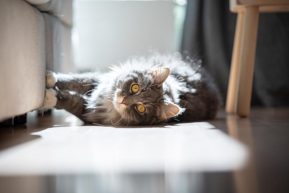 curious maine coon cat lying on side scratching sofa looking at camera in sunlight