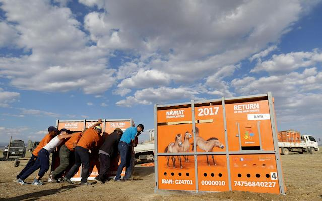 <p>Mongolian workers unload containers containing Przewalski's horses in Takhin Tal National Park, part of the Great Gobi B Strictly Protected Area, in south-west Mongolia, June 20, 2017. (Photo: David W. Cerny/Reuters) </p>