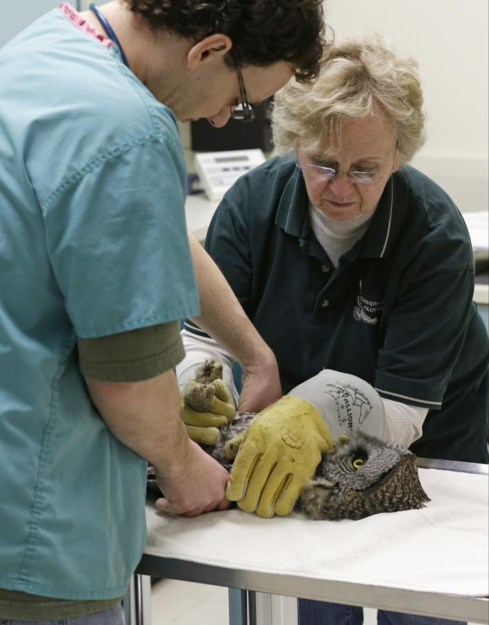 A great gray owl is placed on a table by volunteer Marcia Wolkerstorfer to be examined by veterinary technician Greg Hansen, left, at the Raptor Center on the St. Paul campus of the University of Minnesota, Wednesday, March 13, 2013. The center listed about 30 owls as patients this week. It has been a tough winter for owls in some parts of North America. Some have headed south in search of food instead of staying in their northern territories. (AP Photo/Jim Mone)