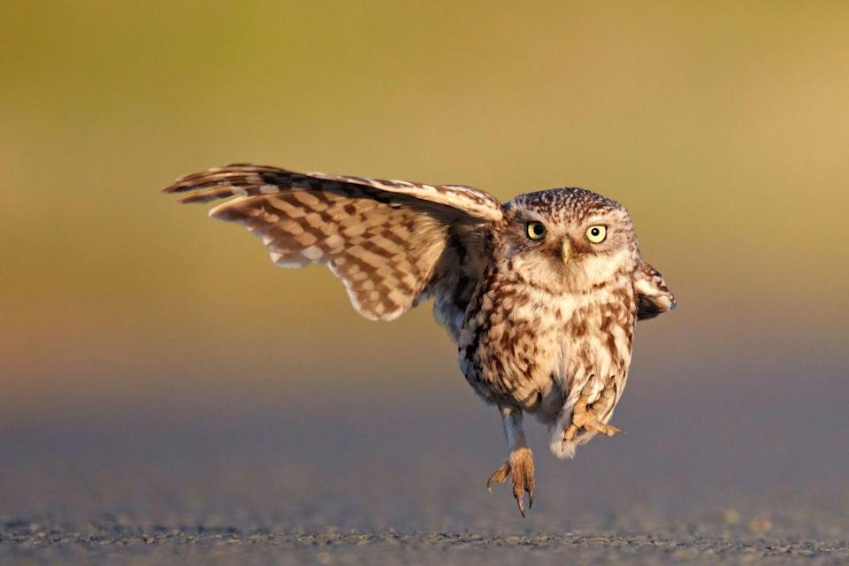 """<p>This owl could have been a backup dancer in the """"Single Ladies"""" video, tbh. </p>"""
