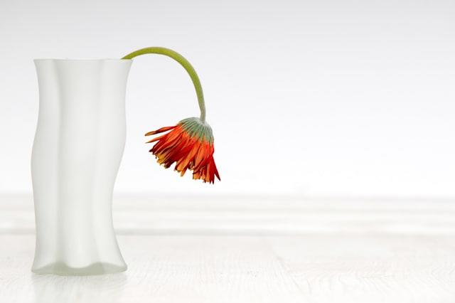 withered gerbera in white vase