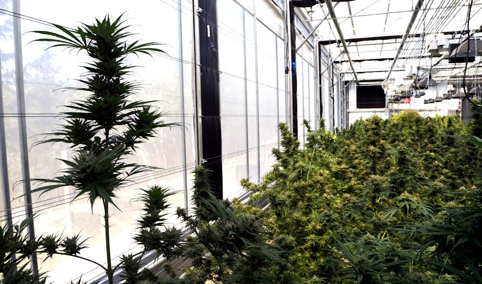 In this April 24, 2018 photo, hemp plants sit at the Unique Botanicals facility in Springfield, Ore. A glut of legal marijuana has driven pot prices to rock-bottom levels in Oregon, and an increasing number of nervous growers are pivoting to another type of cannabis to make ends meet--hemp. (AP Photo/Don Ryan)