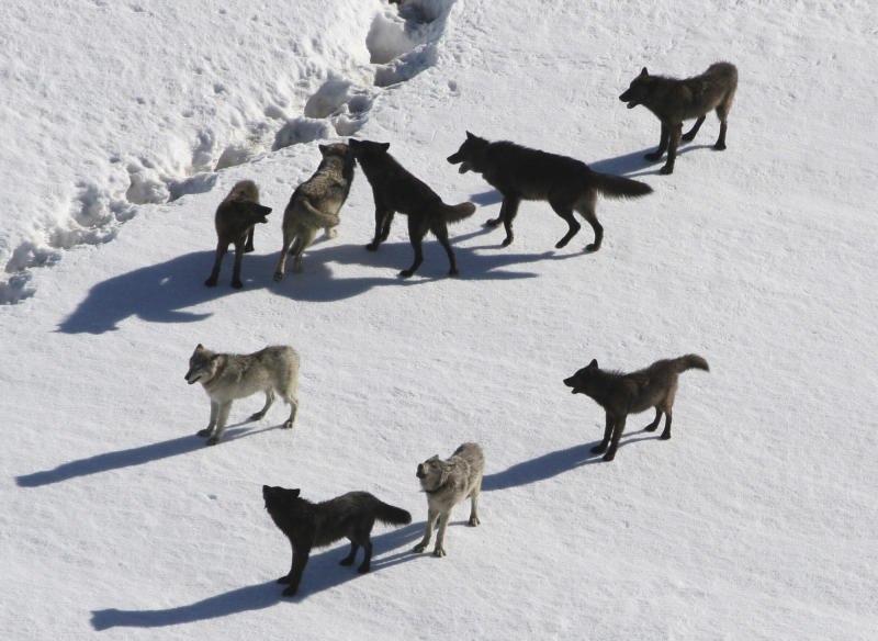 This March, 2007 photo provided by National Park Service photographer Doug Smith shows a Gibbon wolf pack standing on snow in Yellowstone National Park, Wyo.   Restrictions on gray wolf harvests around Yellowstone are under consideration as the state prepares to kick off its inaugural wolf trapping season on Dec. 15, 2012. Conservation groups want limits on trapping after several wolves collared by park scientists for research were shot by Montana hunters in recent weeks. (AP Photo/National Park Service, Doug Smith)