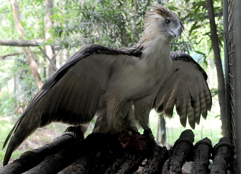 "The Swiss-based International Union for the Conservation of Nature lists the Philippine eagle as ""critically endangered"", due to the depletion of its tropical rainforest habitat and hunting (AFP Photo/Jay Directo)"