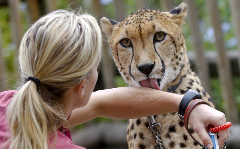In this Nov. 29, 2012 photo, Keeper Shannon Smith gets a lick from Shiley, a 3-and-half-year-old male cheetah, during a animal ambassador walk through at Safari Park, in Escondido, Calif. Cheetahs might be the fastest mammals in the world, but they are also the world's biggest scaredy-cats. The tightly wound, timid, flight-minded, anti-social creatures don't breed easily and are in danger of going extinct in the wild and in captivity. (AP Photo/Lenny Ignelzi)