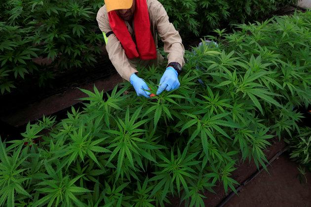 A man gathers marijuana plants for medicinal use in Colombia, where medical cannabis is legal for domestic use and export. Canada would be the first G-7 nation to legalize recreational marijuana.