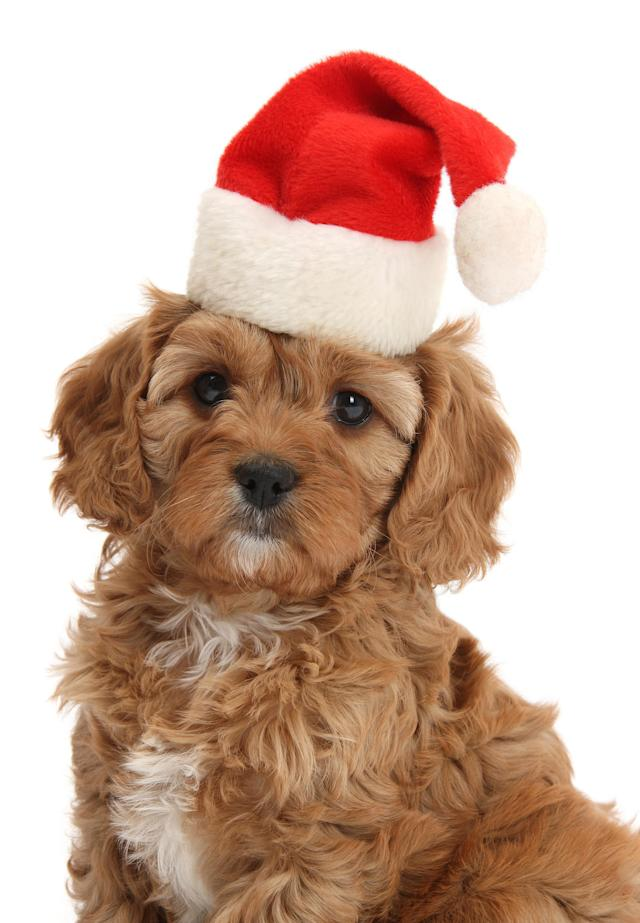 <p>Cute red Cavapoo puppy, 6 weeks old (Photo: Warren Photographic/Caters News) </p>