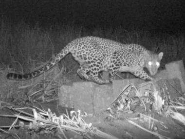 Leopard cub reunited with mother in Satara following 7-day operation; forest officials call for more awareness