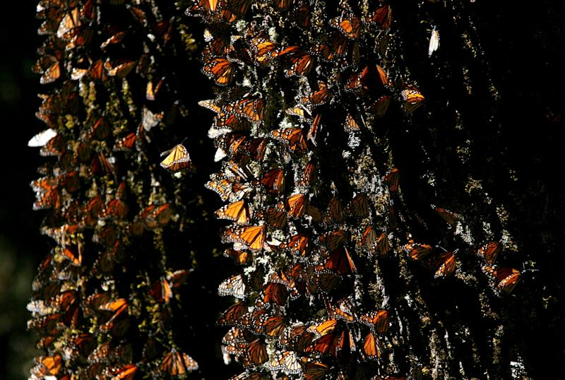 FILE - In this March 13, 2005 file photo, Monarch butterflies gather on a tree at the El Rosario Butterfly Sanctuary near Angangueo, Mexico. The number of Monarch butterflies wintering in Mexico has plunged to its lowest level since studies began in 1993. A report released on Jan. 29, 2014 by the World Wildlife Fund, Mexico's Environment Department and the Natural Protected Areas Commission blames the dramatic decline on the insect's loss of habitat due to illegal logging in Mexico's mountaintop forests and the massive displacement of its food source, the milkweed plant. (AP Photo/Kirsten Luce, File)