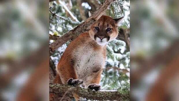 A research project led by UBC Okanagan students and faculty aims to study the impact of wildfires and human activity on the habitats and feeding habits of cougars in the southern Interior. (Submitted by Siobhan Darlington - image credit)