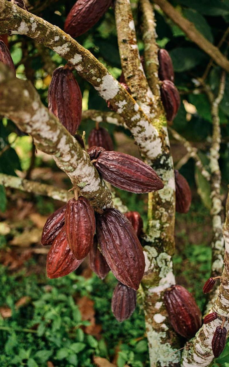 Cocoa pods grow straight from the trunk and branches of the tree   - Credit: Ben Quinton