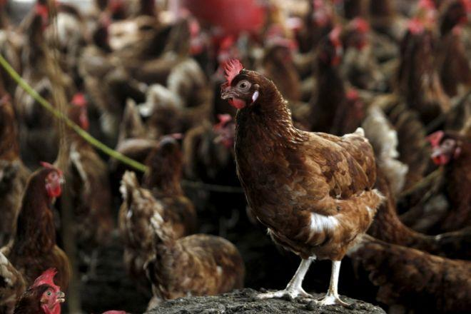 Malaysia reports highly contagious H5N1 bird flu