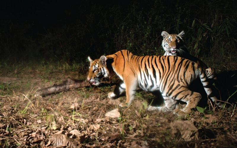 Two young tiger cubs are photographed by a camera trap set by Thailand's Department of National Parks - Credit: EPA