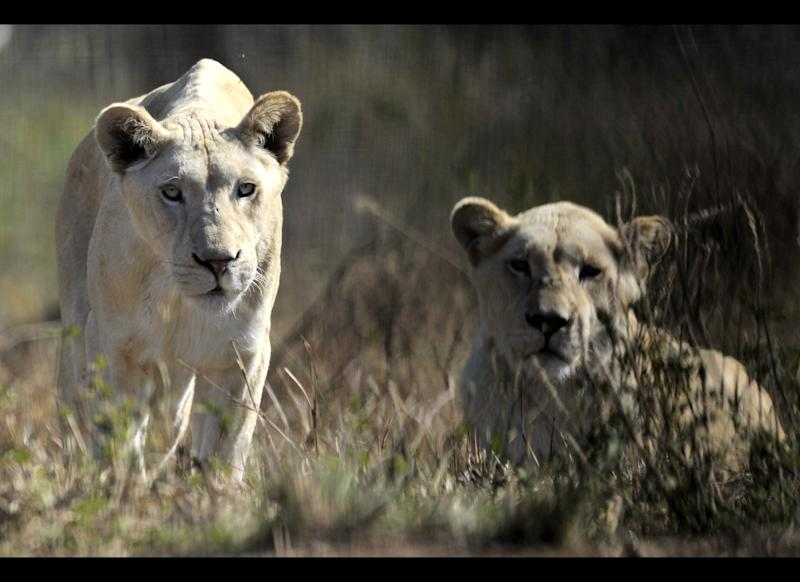 A pair of white lions is pictured at the Lion Park in Ceperdown, some 80 kilometers west of Durban on June 20, 2010. AFP PHOTO / Aris Messinis (Photo credit should read ARIS MESSINIS/AFP/Getty Images)
