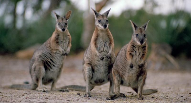 Wallabies were attacked in Townsville overnight