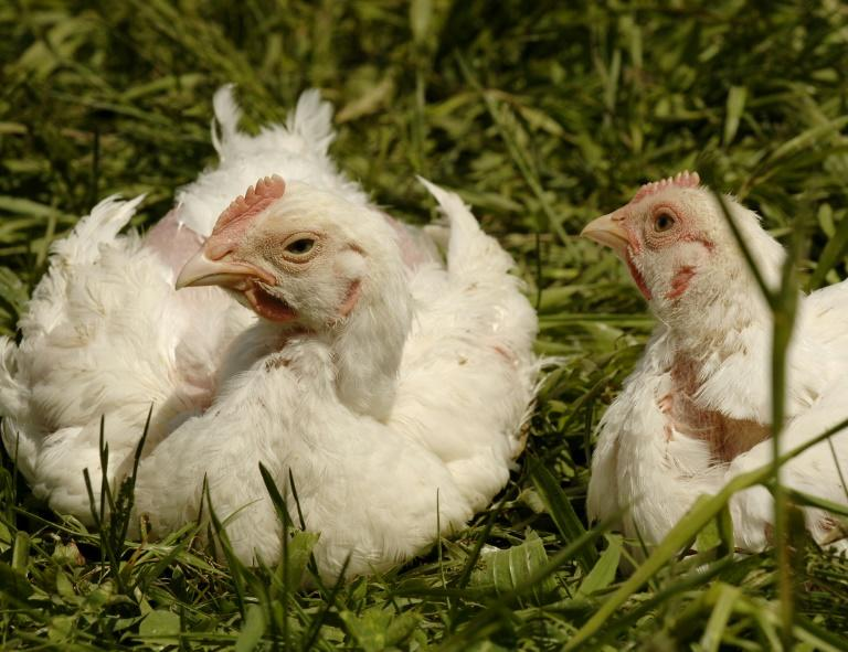 Last month, Tyson Foods announced  a 'no antibiotics ever' pledge for all Tyson-branded chicken products, building on an earlier promise to restrict drug use on broiler chickens