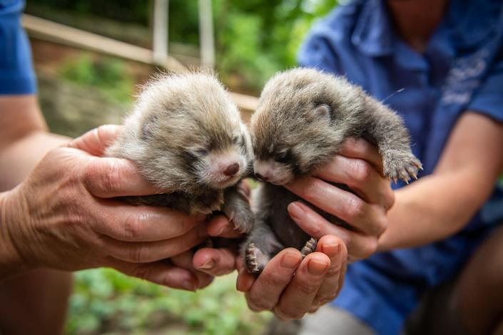 Red panda cubs, a male and a female, were born at Columbus Zoo on June 13. (Photo: Grahm S. Jones, Columbus Zoo and Aquarium)