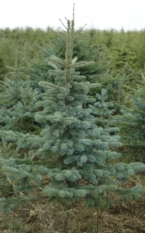 Blue Spruce Christmas tree - Credit: Andrew Crowley