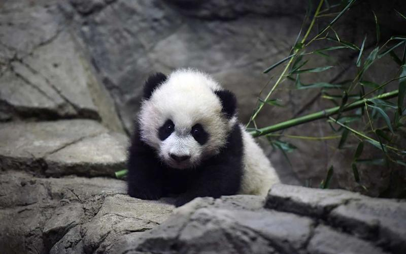 Bei Bei the giant panda cub is seen in an enclosure at the Smithsonian National Zoological Park on Tuesday December 15, 2015 in Washington, DC. He was born August 22, 2015. | The Washington Post/Getty Images
