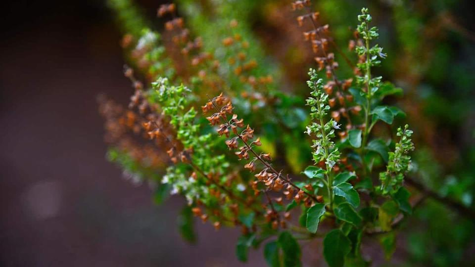 #HealthBytes: Have these herbs to boost your immunity