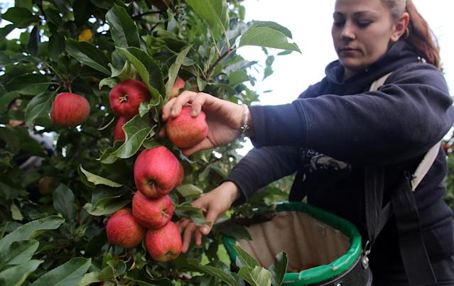 A workforce of 70,000 fruit and vegetable pickers is needed to prevent produce from rotting in the fields. Photo: Matt Cardy/Getty Images
