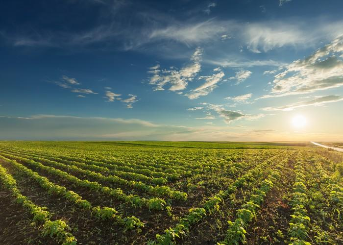 Rows of young green soybeans against the setting sun with beautiful clouds