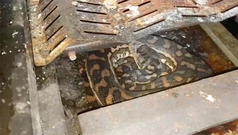 The coastal carpet python was nesting in a barbecue on the Sunshine Coast, Queensland.