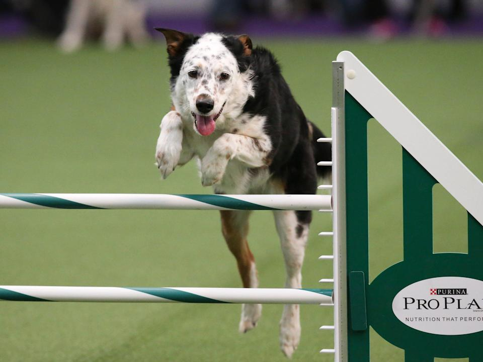 Panda the All American scales a high jump.