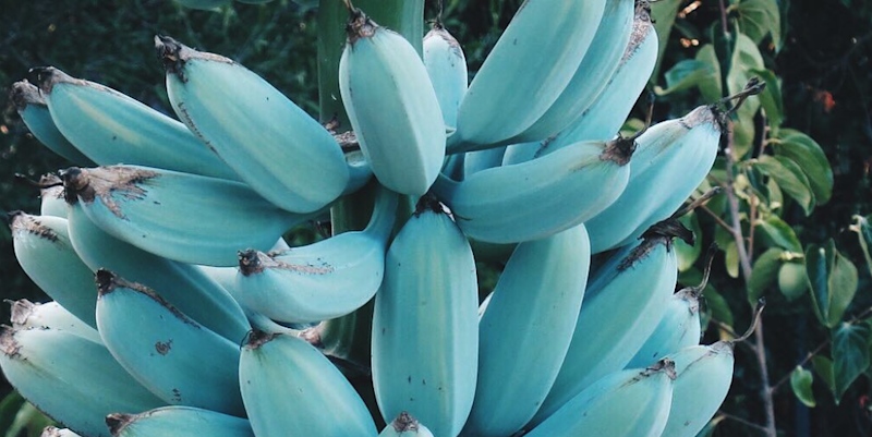These Blue Bananas Taste Like Ice Cream, And You Can Buy The
