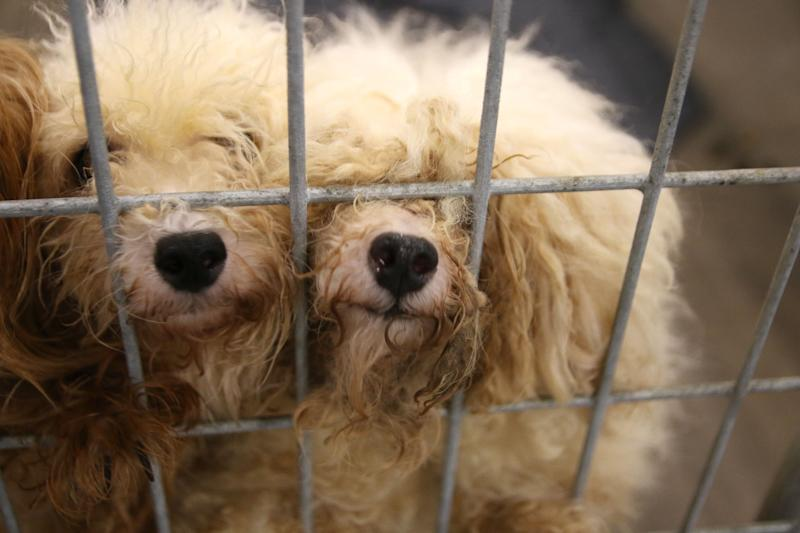 Two small dogs rescued from a commercial breeding facility in Texas.
