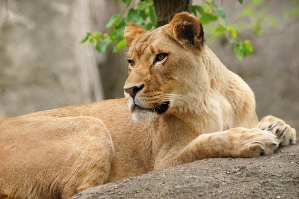 The Indianapolis Zoo's lioness named Zuri, pictured, attacked the lion in their enclosure (Picture: Reuters)