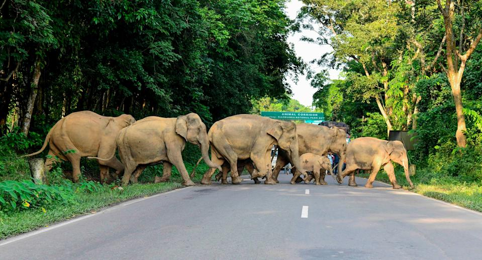 Herd of wild elephants cross the National Highway-37 in search for safer places at the flood affected area of Kaziranga National Park in the India's northeast state of Assam (AFP via Getty Images)
