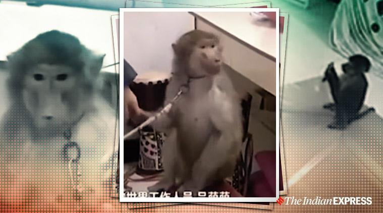 monkey, monkey orders groceries in china, china money, pet money orders treats,
