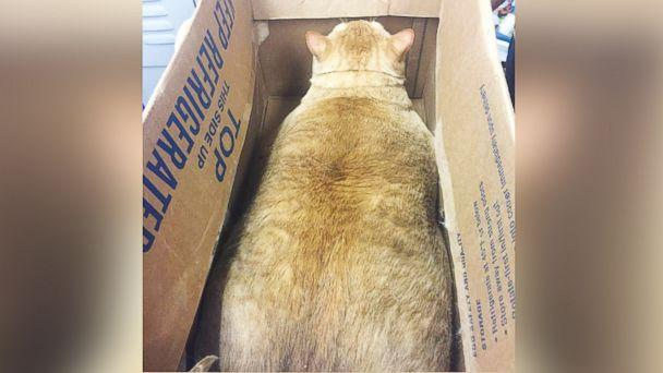 PHOTO: Symba the 35-pound cat is looking for a loving, fur-ever home in Washington, D.C. (Humane Rescue Alliance)