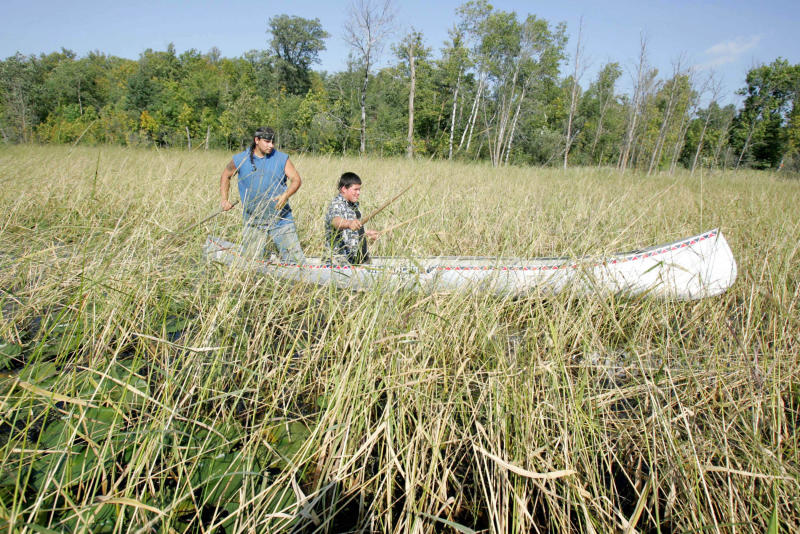 MPCA releases wild rice sulfate studies