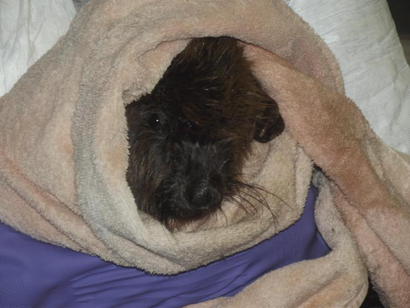 This photo provided by the Wildlife Rehabilitation Center of Northern Utah shows a beaver wrapped in a towel after being saturated with diesel fuel from the Willard Bay State Park spill at the Wildlife Rehabilitation Center of Northern Utah in Ogden, Utah, Tuesday, March 26, 2013. The animals are showing signs of recovery, but have not been given a clean bill of health yet. (AP Photo/Wildlife Rehabilitation Center of Northern Utah via The Salt Lake Tribune)