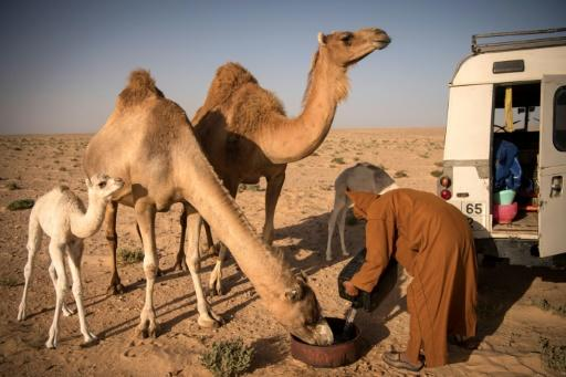 At dawn and dusk in the Western Saharan desert, Habiboullah Dlimi milks his camels by hand in the same way his ancestors used to
