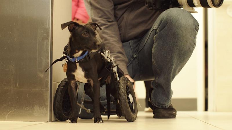 Temo, the 8-month old Chihuahua mix, got his very own wheelchair on the day he was adopted from Animal Haven.
