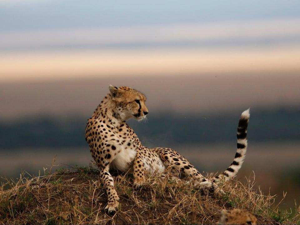 African cheetahs will be reintroduced after Asian cheetah was hunted to near extinction in 20th century (Getty)