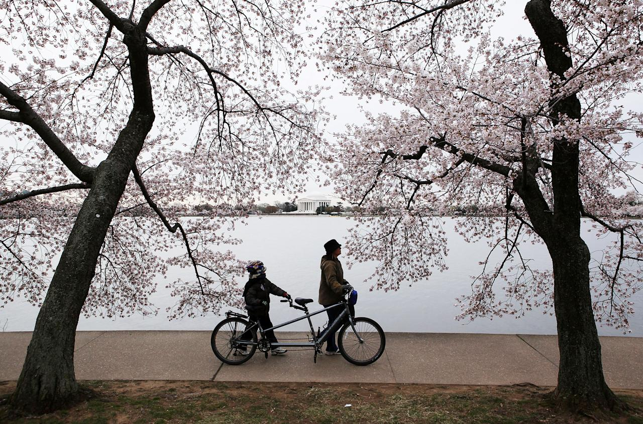 WASHINGTON, DC - MARCH 28:  People walk a bike at the Tidal Basin under the cherry blossoms, with the Thomas Jefferson Memorial in the background,  March 28, 2011 in Washington, DC. The annual 16-day National Cherry Blossom Festival will run thru April 10.  (Photo by Alex Wong/Getty Images)
