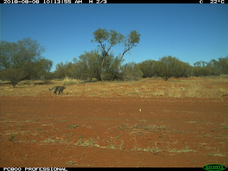 A feral cat wanders the Simpson Desert.