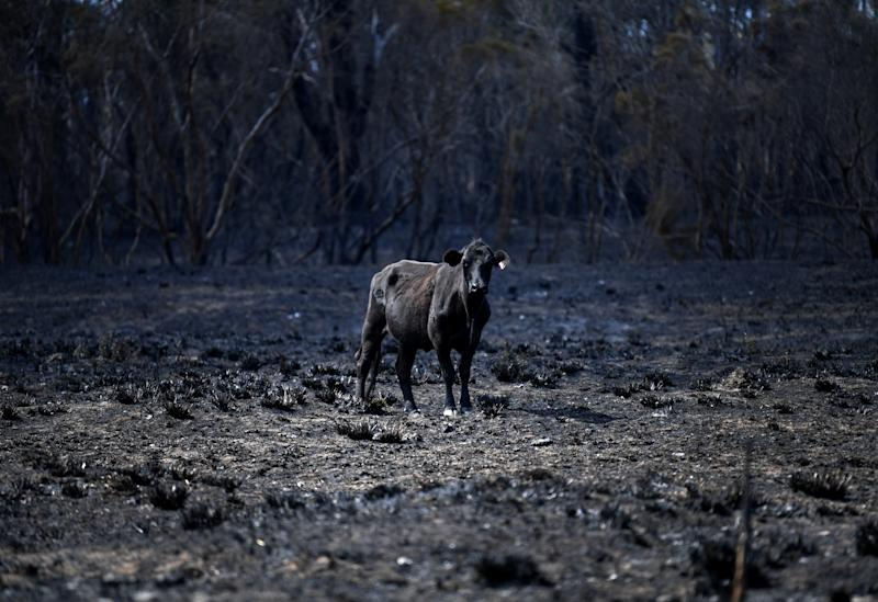 Picture of a cow standing in a burnt paddock, which was devastated by the bushfires that swept through Rappville.
