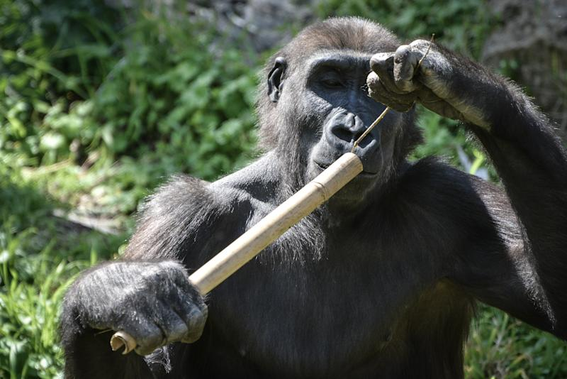 RAMAT GAN, ISRAEL - 2019/03/01: A gorilla showcasing ability to manipulate tools at Ramat Gan Zoo Safari. The park extends over an area of around 1000 dunams. It has the most extensive collection of animals in the Middle East and is unique all over the world because of the vast herds that graze in the African park. (Photo by Laura Chiesa/Pacific Press/LightRocket via Getty Images)