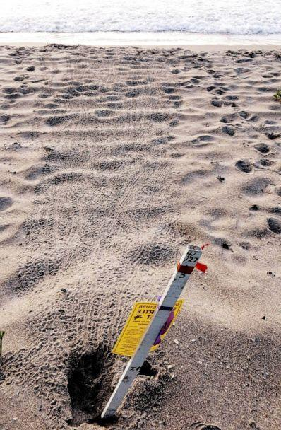 PHOTO: Sea turtle hatchling tracks are seen heading straight into the ocean in Highland Beach, Florida, in June 2016. (Staci-Lee Sherwood)