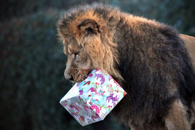 "A lion holds a ""Christmas gift"" during a photocall marking Christmas at the London Zoo in central London on December 12, 2012. AFP PHOTO/CARL COURT"