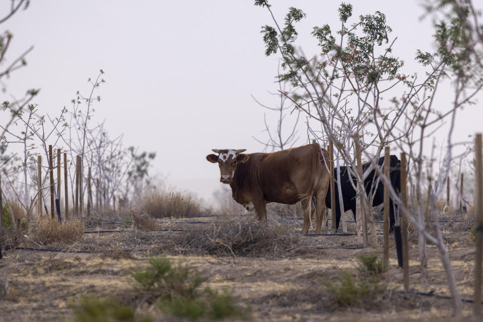 Cattle feed on an abandoned orchard as drought worsens near Red Lake, north of Kingman, Ariz. in June.